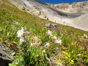September columbines & wildflowers - Mendota Peak, Telluride, Colorado